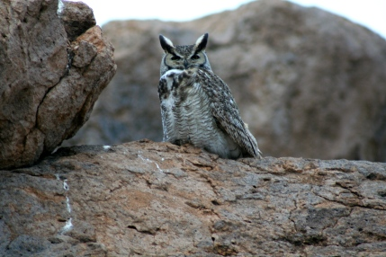 Owl in City of Rocks State Park New Mexico