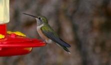 Humming Birds are still around